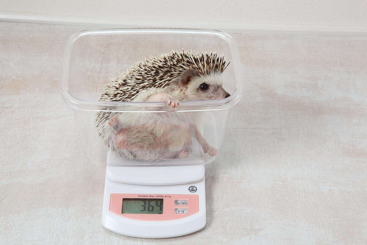 ハリネズミ 体重測定01
